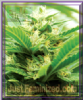Emerald Triangle Emerald Jack Feminised 5 Seeds